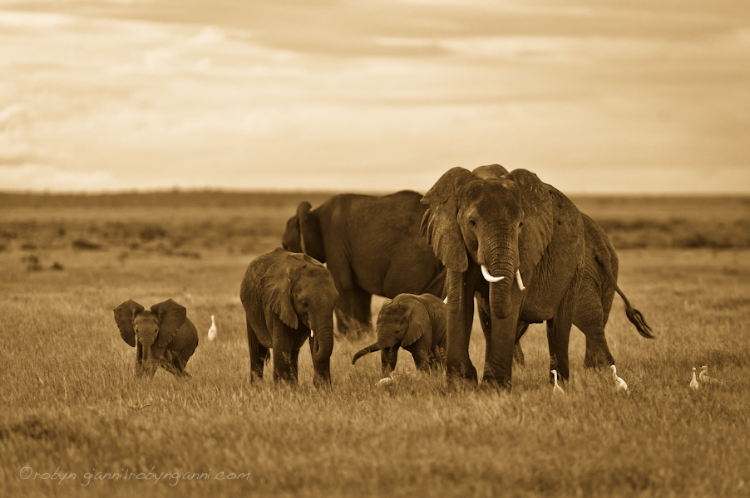 Elephant family, Amboseli National Park