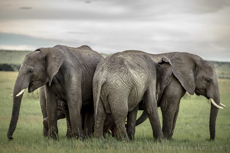 Elephant herd, East Africa