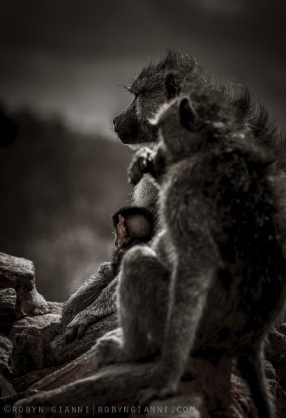 Yellow baboons, Tsavo East, Kenya