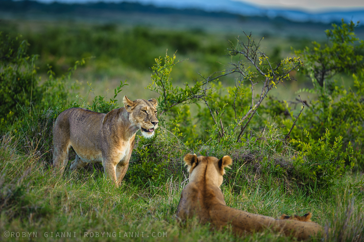 Oloololo Pride, Maasai Mara, Kenya