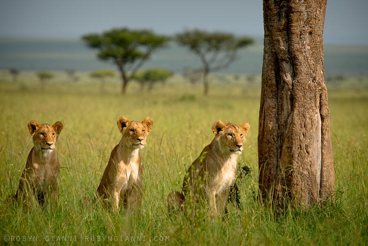 Sausage Tree Pride, Maasai Mara, East Africa