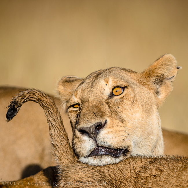 lioness-love
