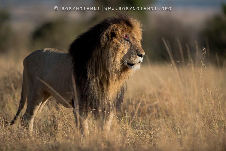 AfricanLion.jpg