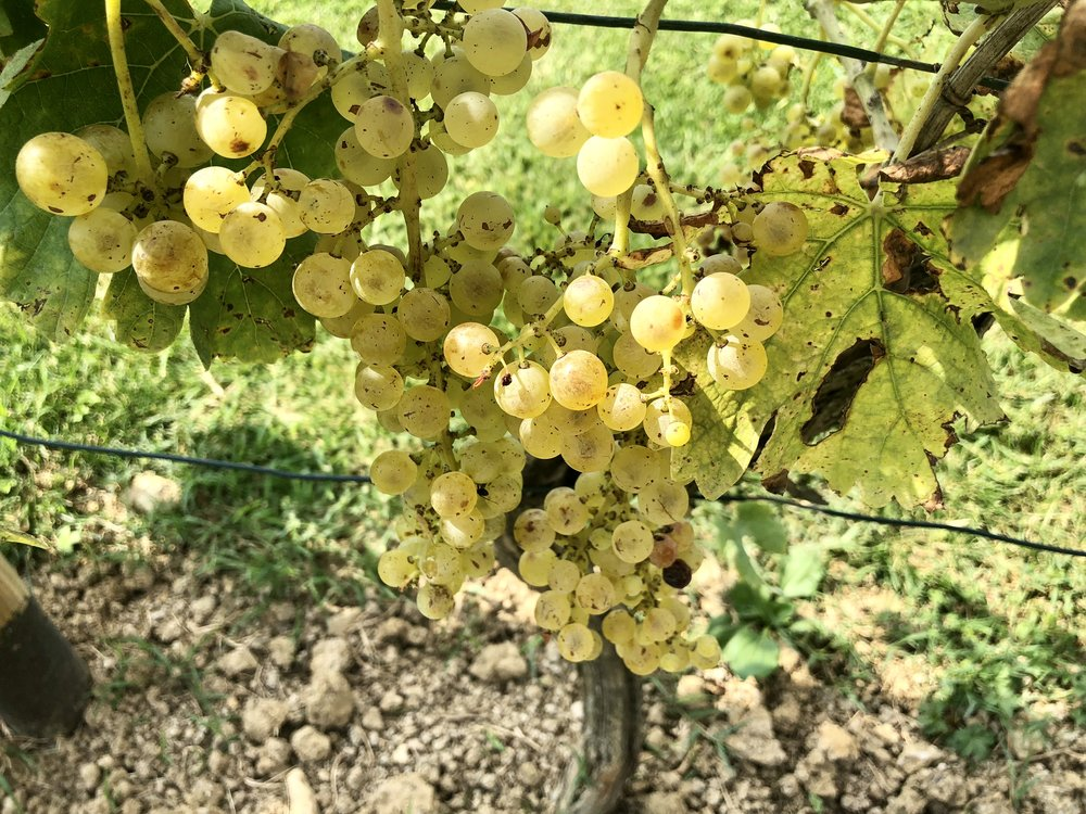 Almost harvest time at Tenuta Torciano Winery