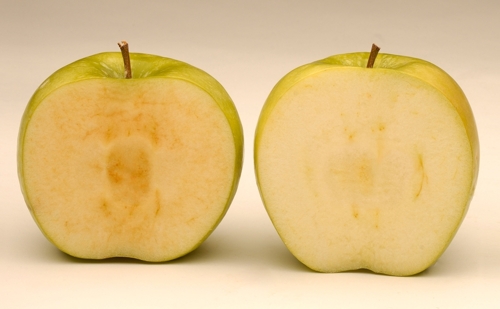 The genetically modified Arctic apple (right) was approved for sale by the U.S. Department of Agriculture last week. Will it open—or block—the gates to the development of more GMO foods that could help feed the world?