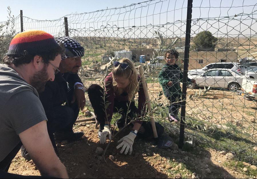 Jon Mitchell, 29, Raed Abu al-Kaeean, and an unnamed participant (editor's note: LOL) plant an olive tree sapling in the Beduin village of Umm-al-Hiran on Friday. (photo credit:ELIYAHU KAMISHER)