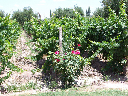 Mendoza Vineyard.jpg
