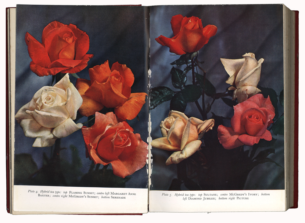 Colour plates from Collins Guide to roses 1953