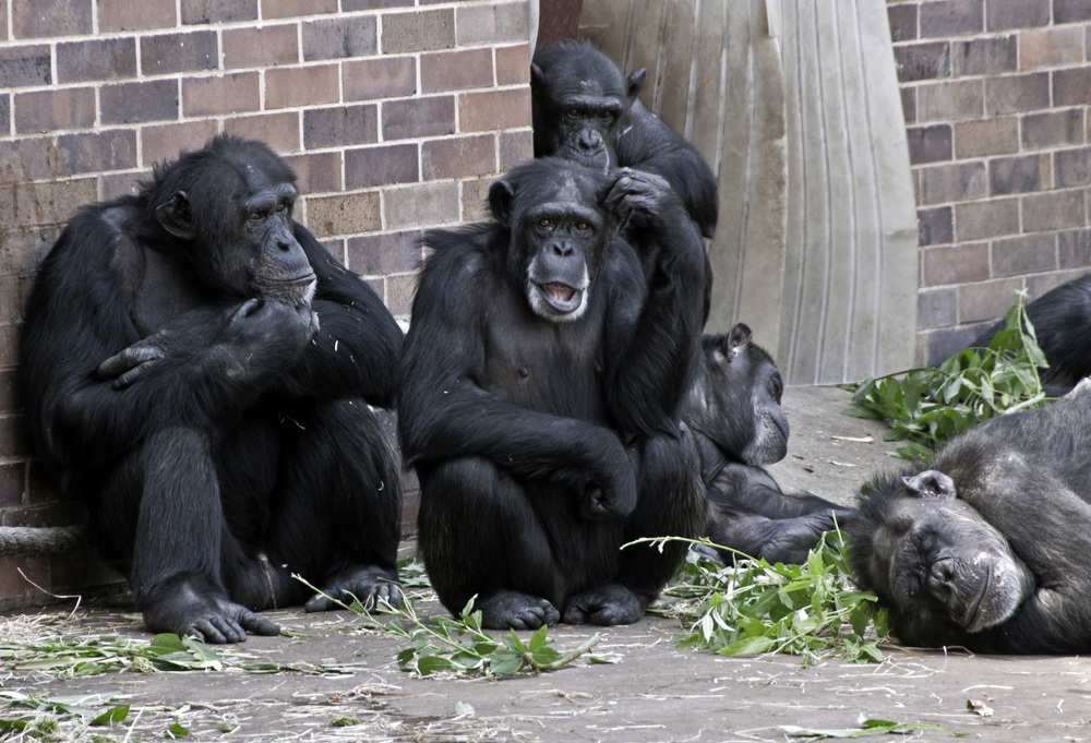 Chimpanzee's at Chester Zoo