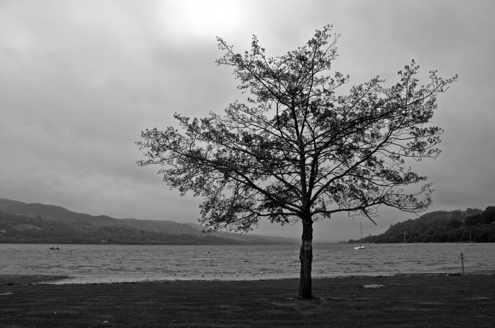 Lone tree at Bala Lake