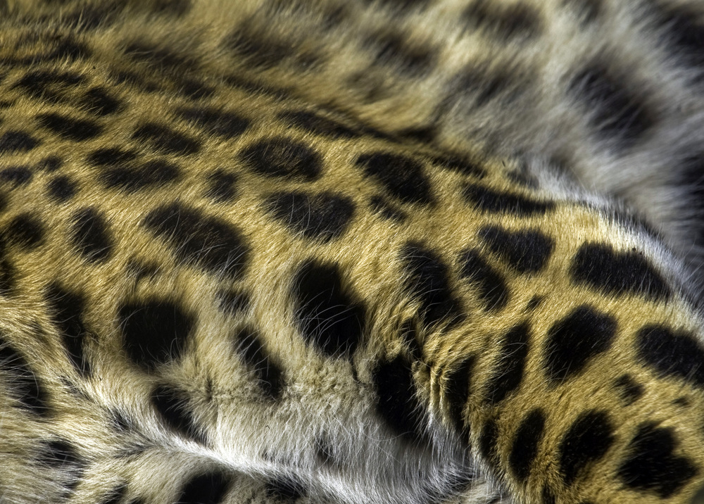 Leopard Fur Pattern Detail