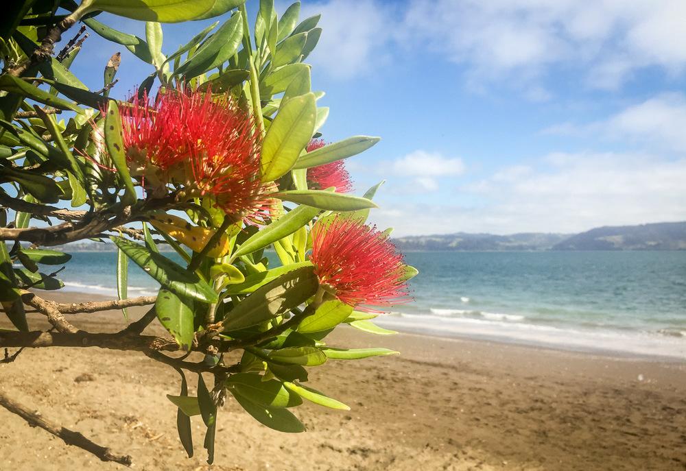 pohutukawa-tree-at-beach