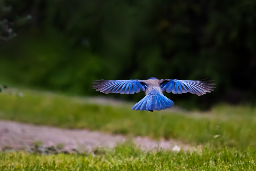 Western Scrub Jay in Flight - They Are Beautiful!