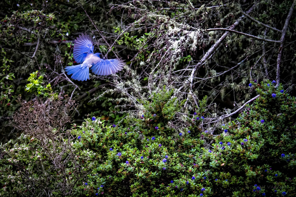 Western Scrub Jay - Natural Habitat in California