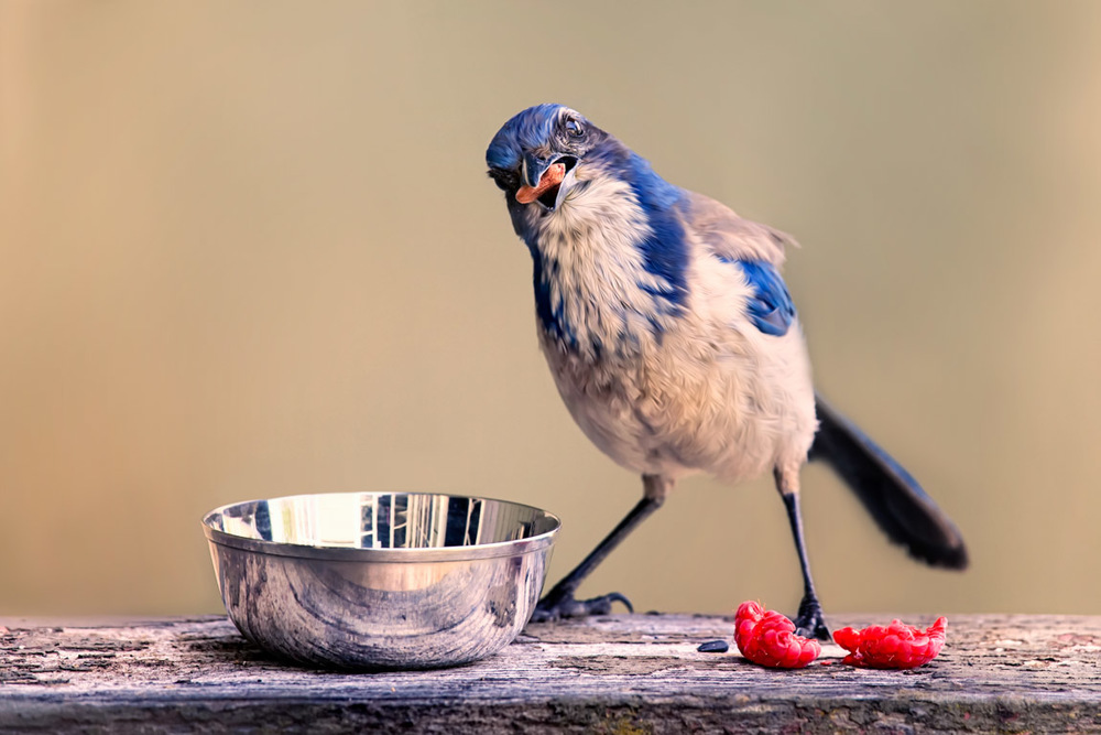 One Lucky Scrub Jay!