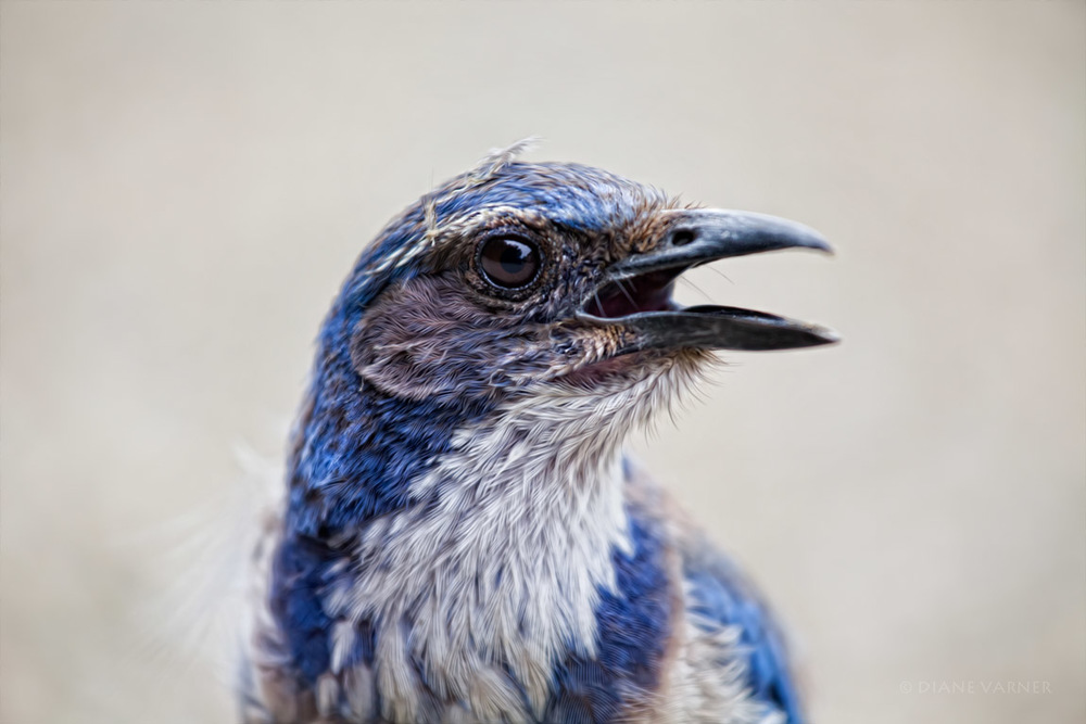 Mr. Blue - Western Scrub Jay