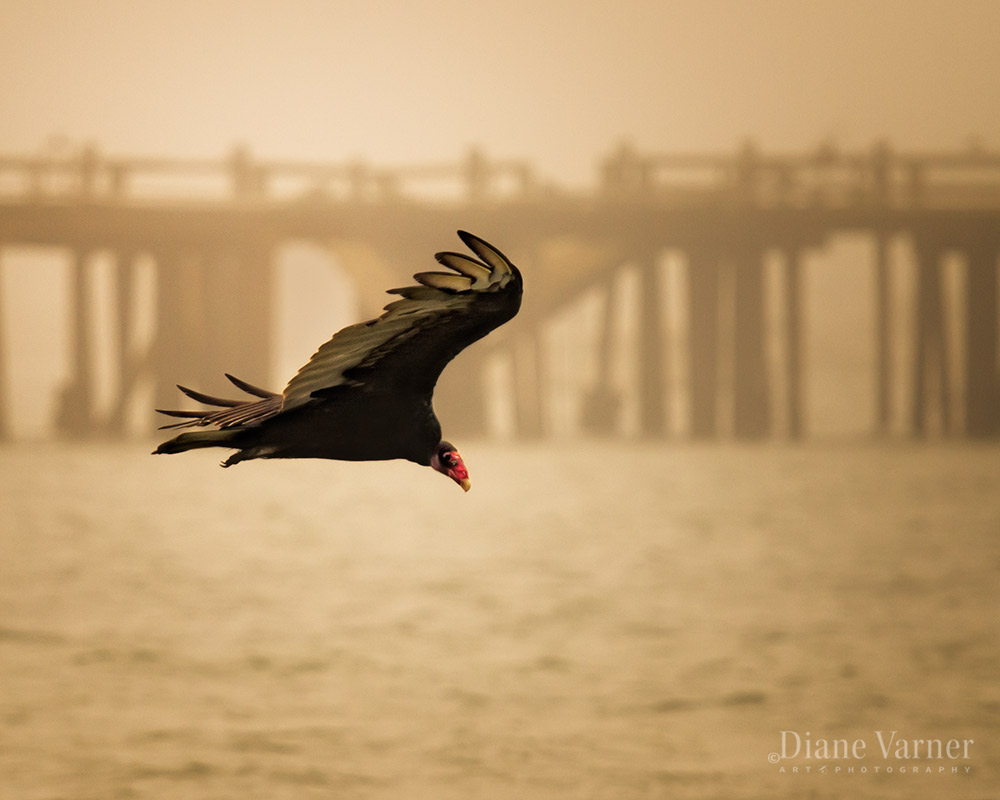 Turkey Vulture - No 1