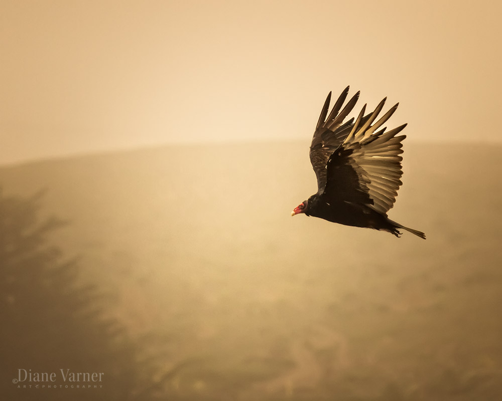 Turkey Vulture - No 3