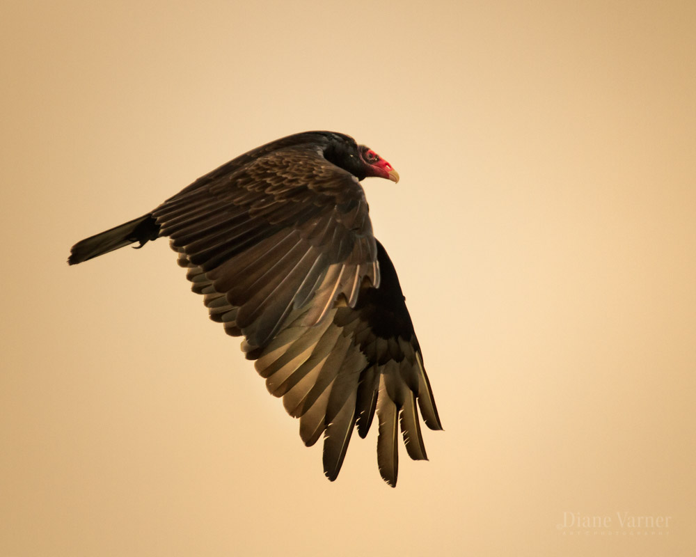 Turkey Vulture - No 4
