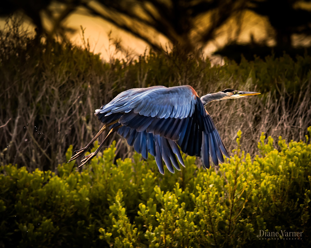 BLUE HERON RUSH OF ENERGY
