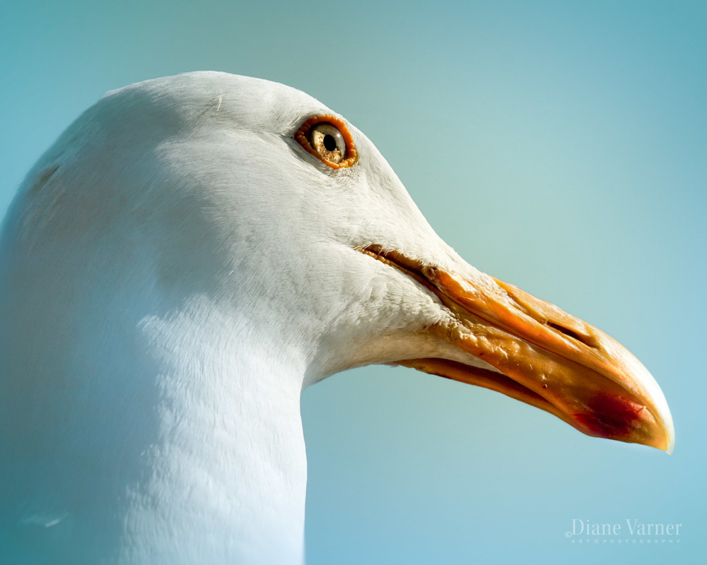 Half Moon Bay Seagull