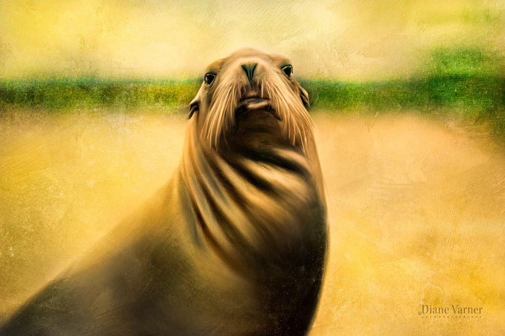 Half Moon Bay Seal (Photo Art)