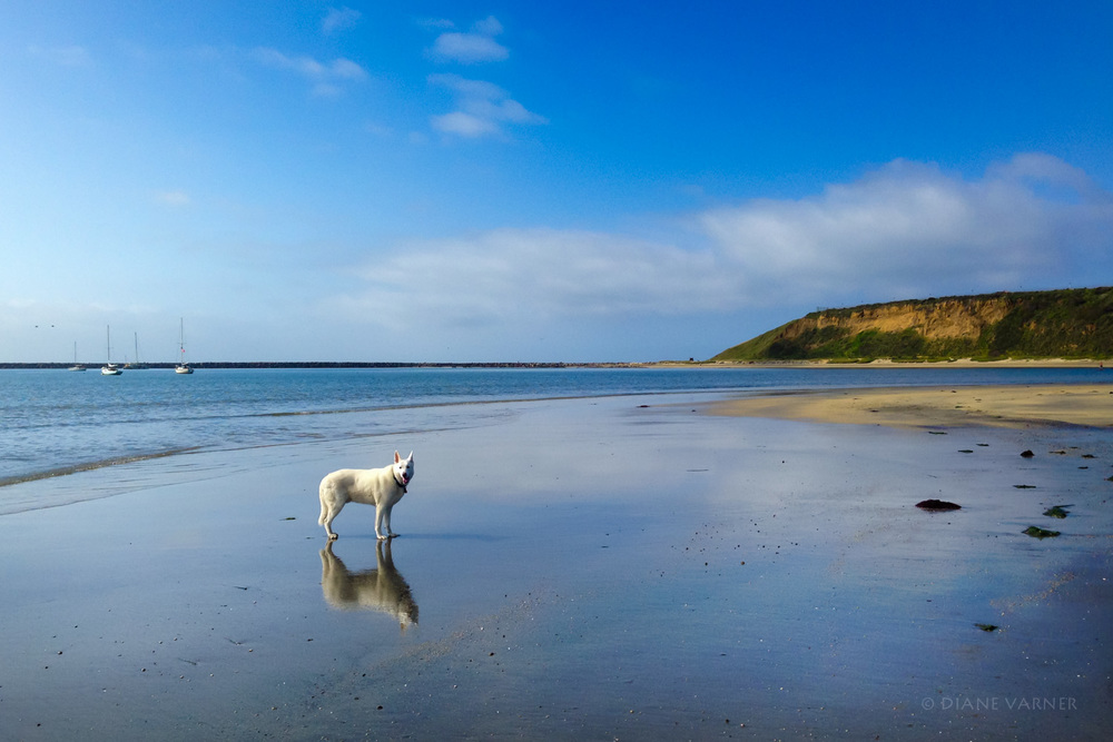 Half Moon Bay with Rio - Our Beautiful White German Shepherd