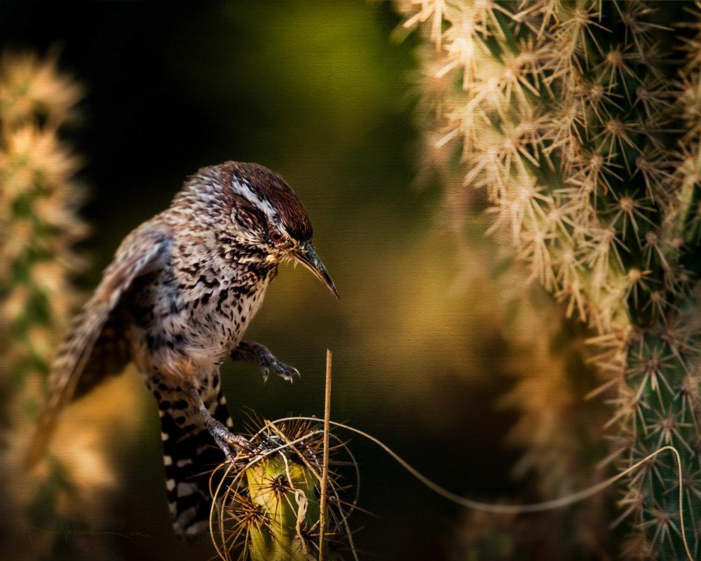 cactus-wren
