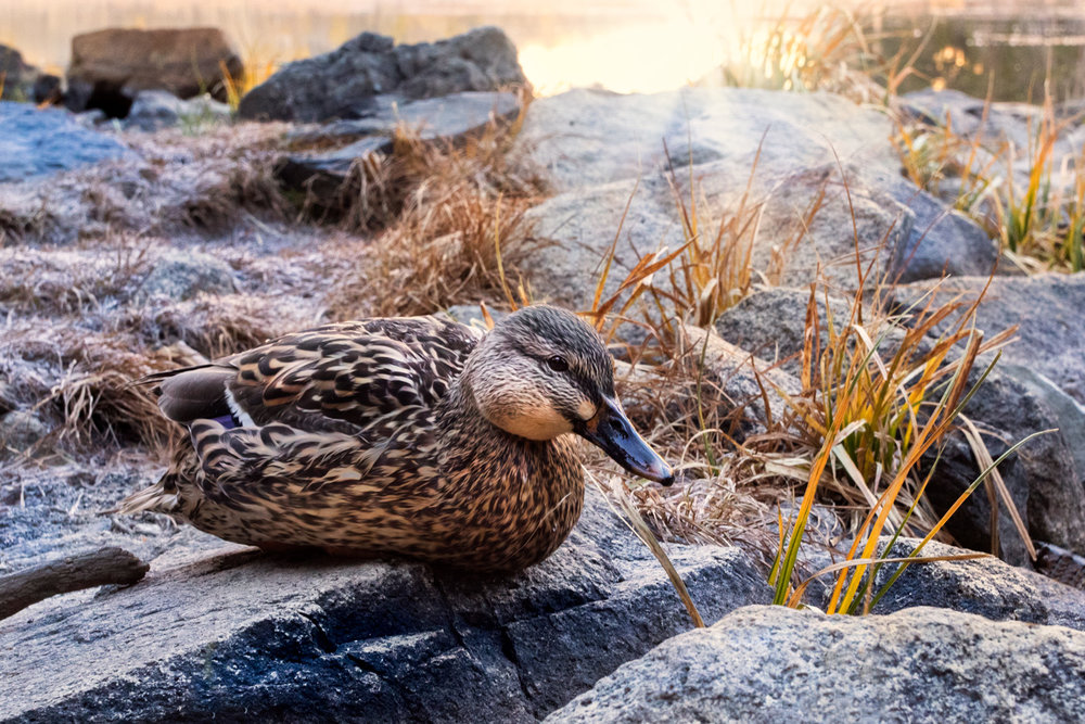 My Sunrise Duck Friend at Parker Lake