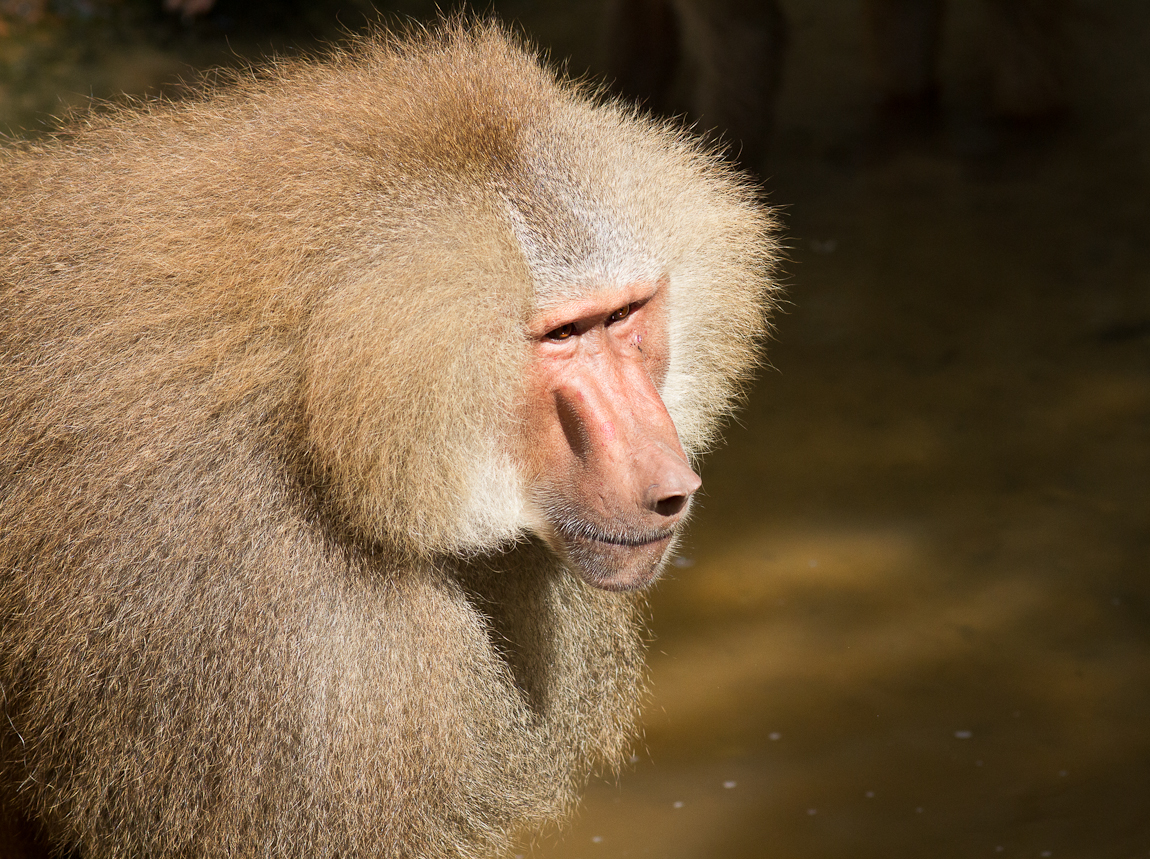 Hamadryas Baboons at Singapore Zoo