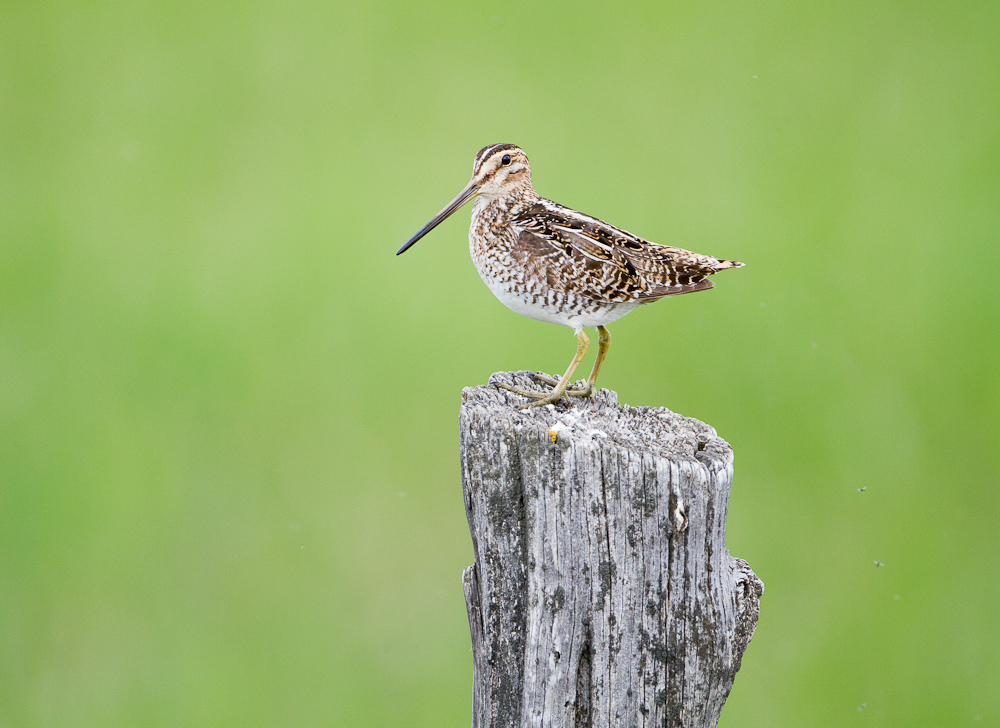 I spotted this Common Snipe sitting on an old fence post while driving along Lava Beds Road near Diamond, Oregon and rolled down my window and captured a photo. My first introduction to the snipe was hearing the mysterious sound the wind makes rushing through their feathers when they swoop through the skies in the evening.