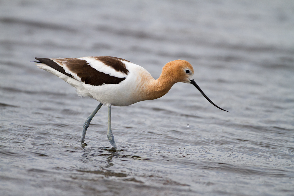 I was back home in Oregon recently and made a short road trip over to Harney county in the southeastern part of the state. We visited Pete French's old Round Barn which was partially flooded, and found this American Avocet who allowed me to take several photos from just a few feet away.