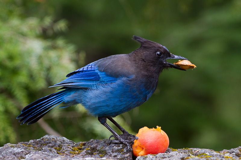 We stopped in at a favorite park on the west side of the Cascade mountains on the way back from eastern Oregon and found this stellar's jay who somehow came into possession of a fresh apricot. He showed amazing skill at extracting the pit before quickly finishing the fruit.