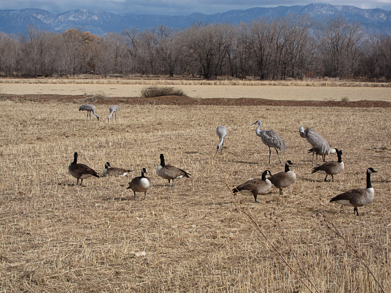 Sandhill Cranes without all the Gear