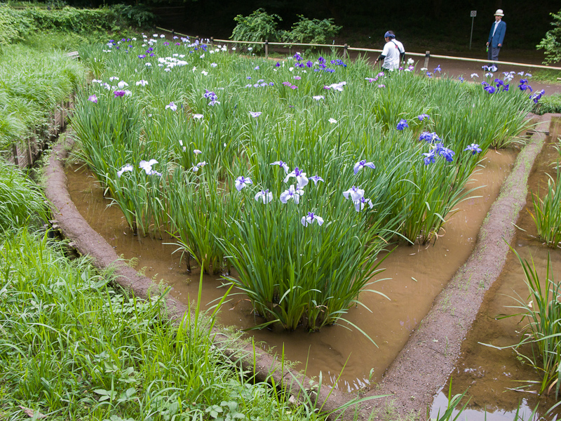 Meiji Shrine Iris Garden