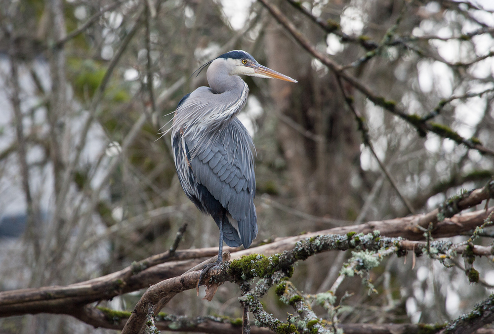 Great Blue Heron (Delta Ponds, Eugene, Oregon)