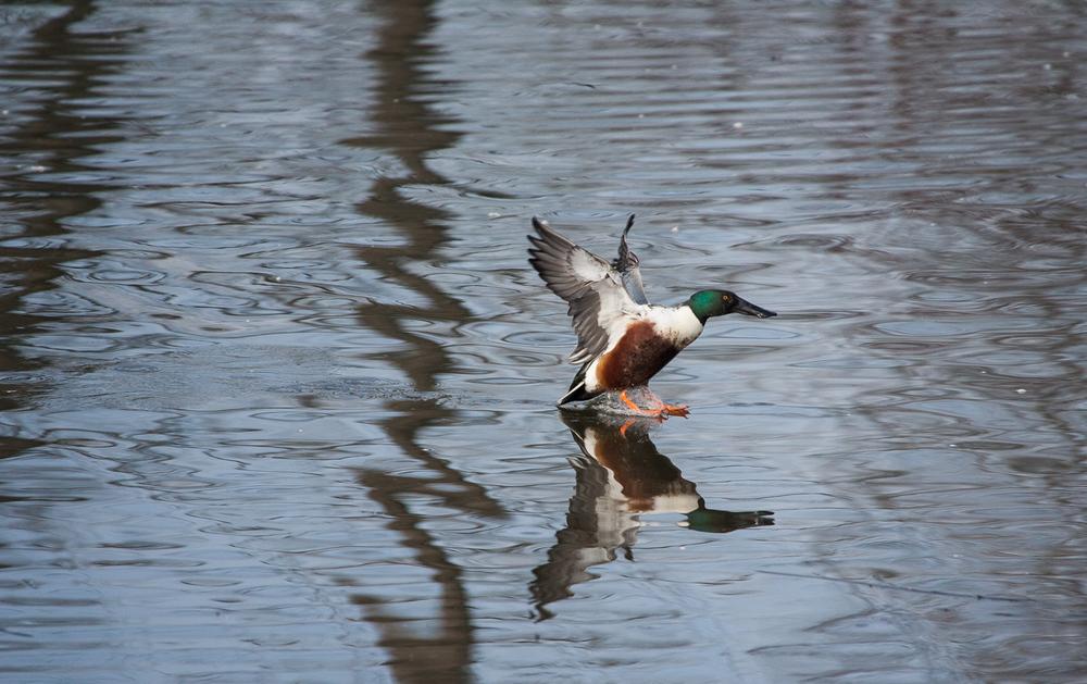 Shoveler (Delta Ponds, Eugene, Oregon)