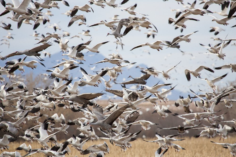 Snow Geese & Sandhill Cranes (Bosque NWR, New Mexico)