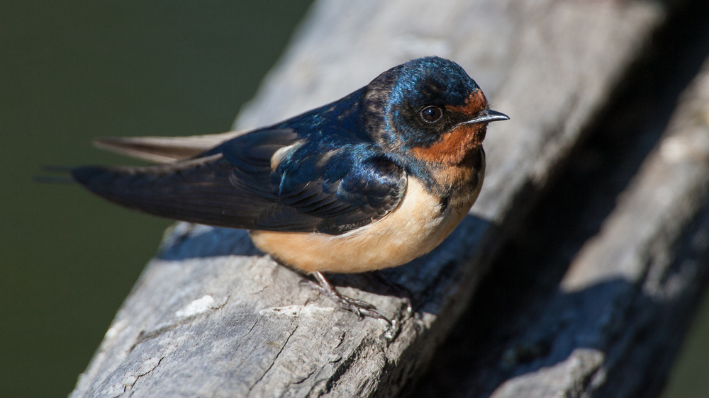 Barn Swallow (Malheur NWR, Oregon)