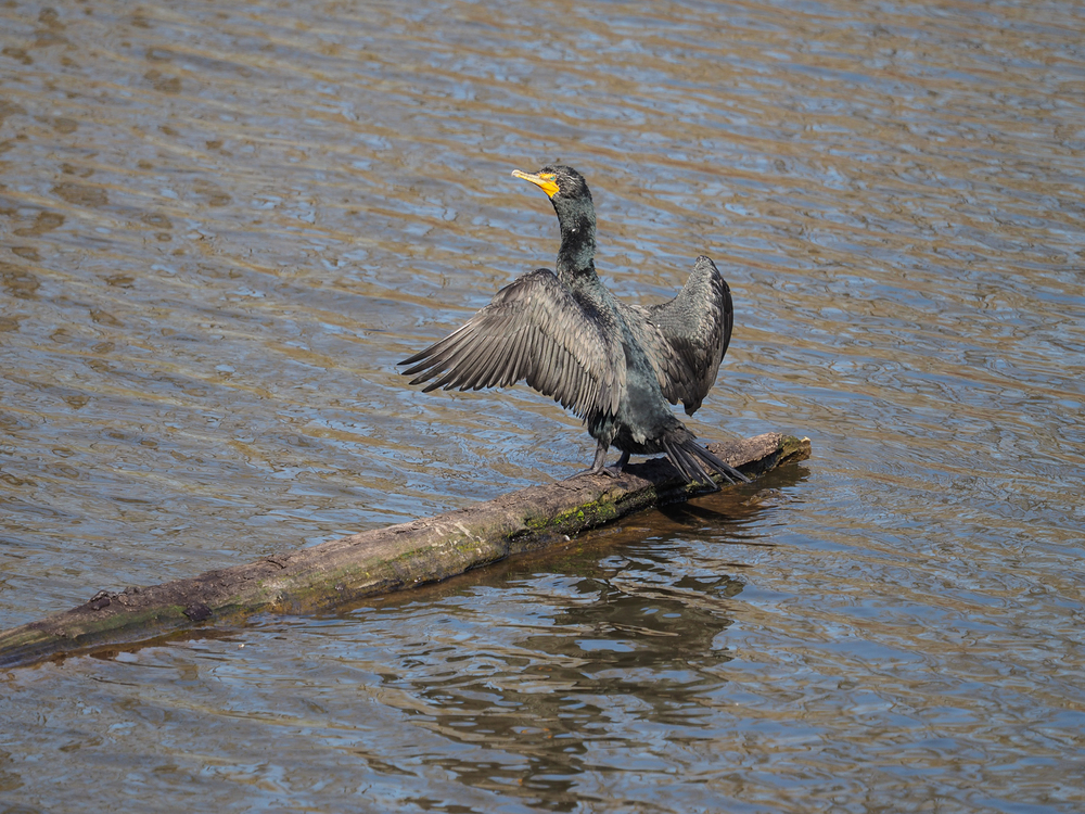 Cormorant (Delta Ponds, Eugene, Oregon)