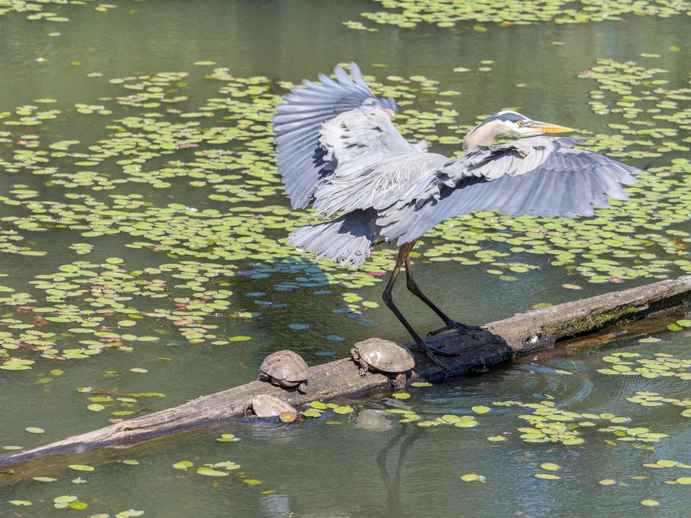 Heron Landing (2 of 3)
