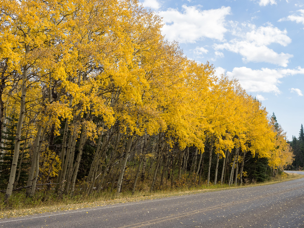Aspen along Many Glacier Road (September 2015)