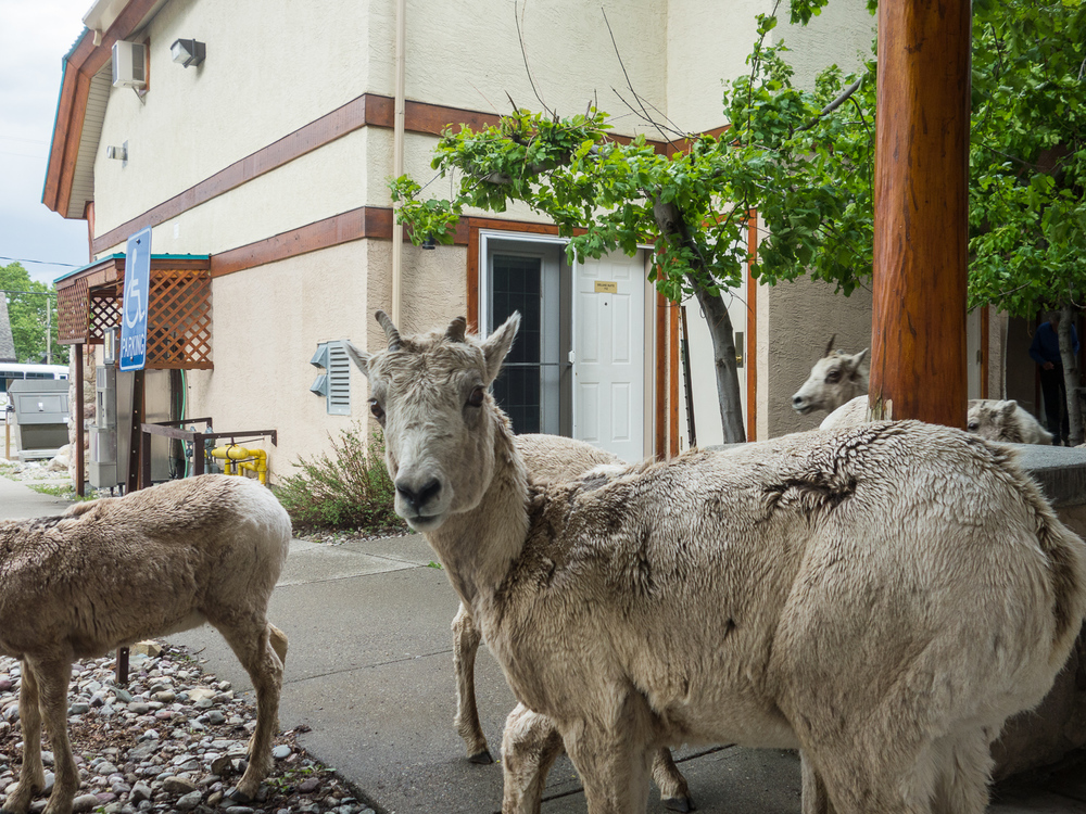 Bighorn Sheep in front of hotel room in Waterton Village (June 2015)