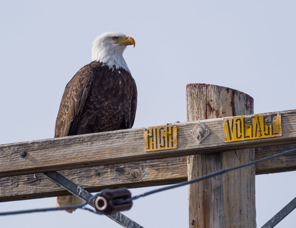 Bald Eagle at Tule Lake NWR