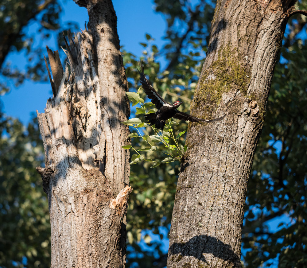 Pileated Woodpecker Takes Flight