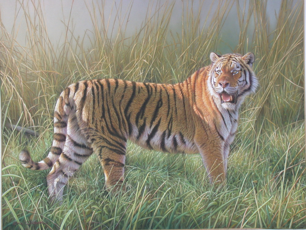 Tiger in the long grass