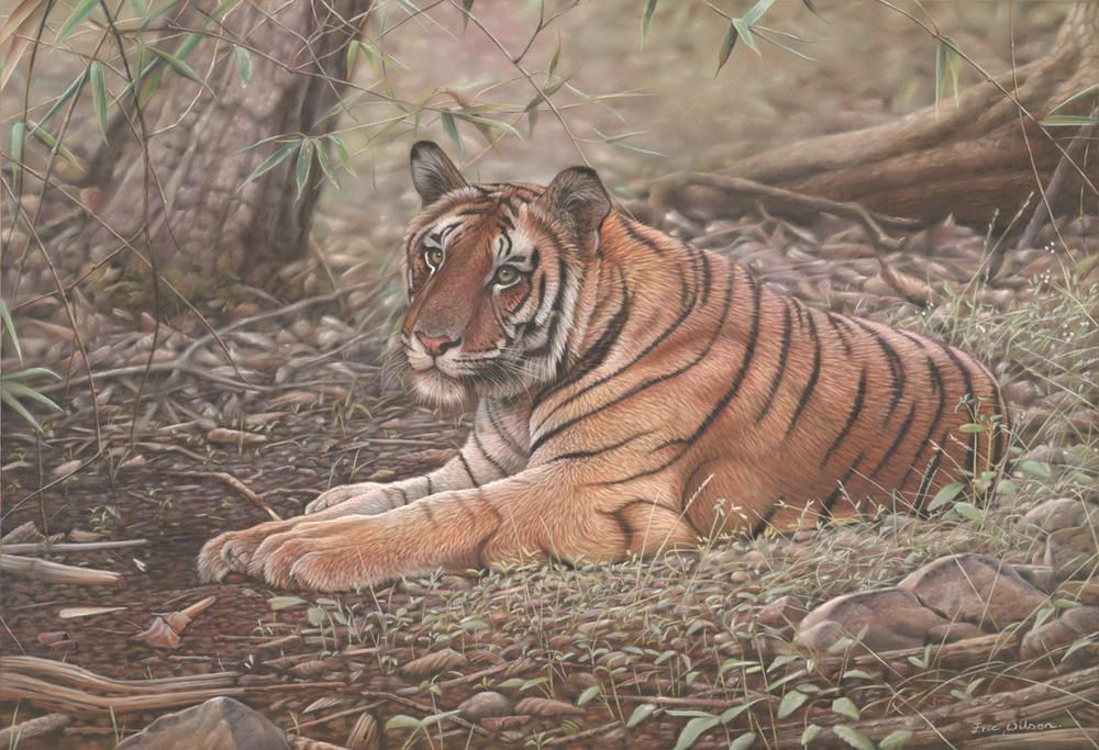 Bandhavgar Tiger