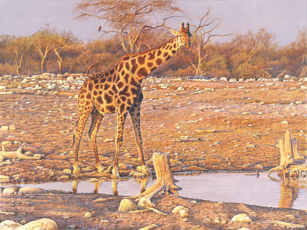 Namibian Giraffe. Coloured pencil. 18 x 24 inches.