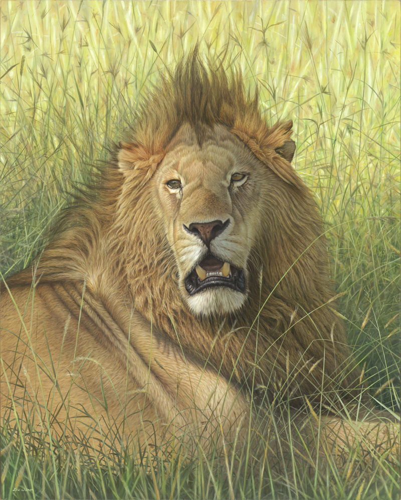 'Romeo' Masai Mara Lion. Oil on Belgian Linen 80 x 100cm. Original Available.