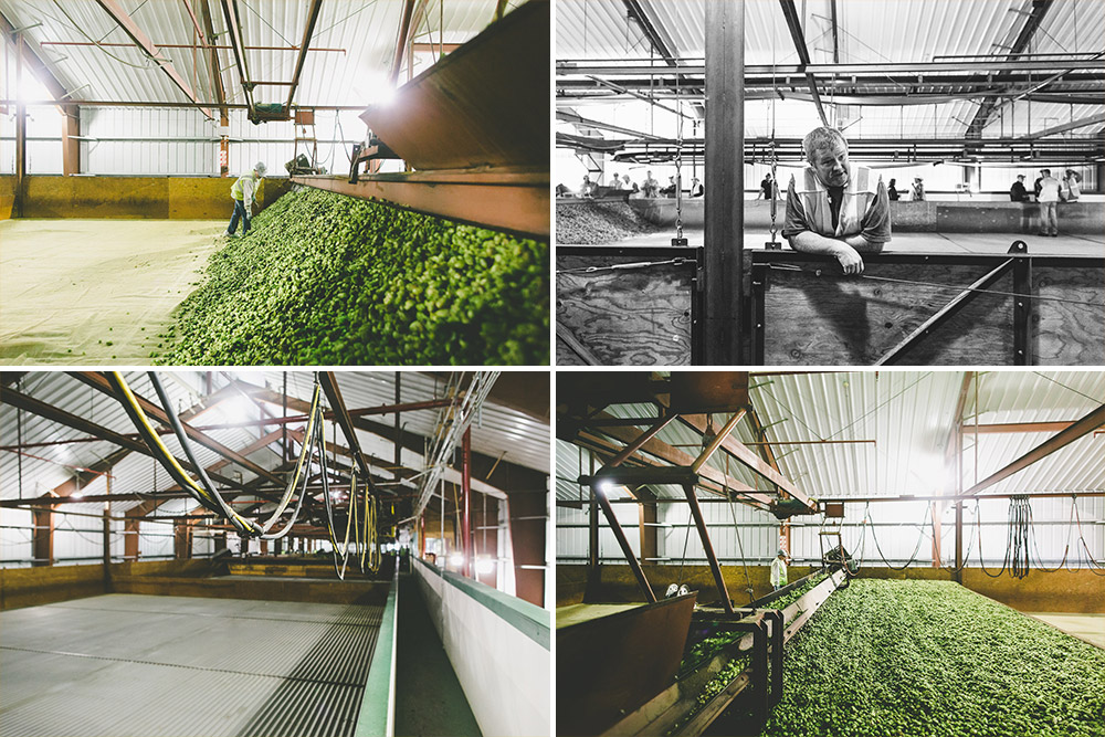 The kilning begins as hops are spread over a mesh floor and slowly heated